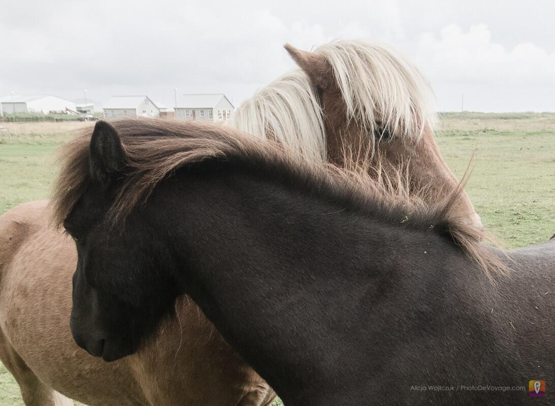 Włochate konie islandzkie