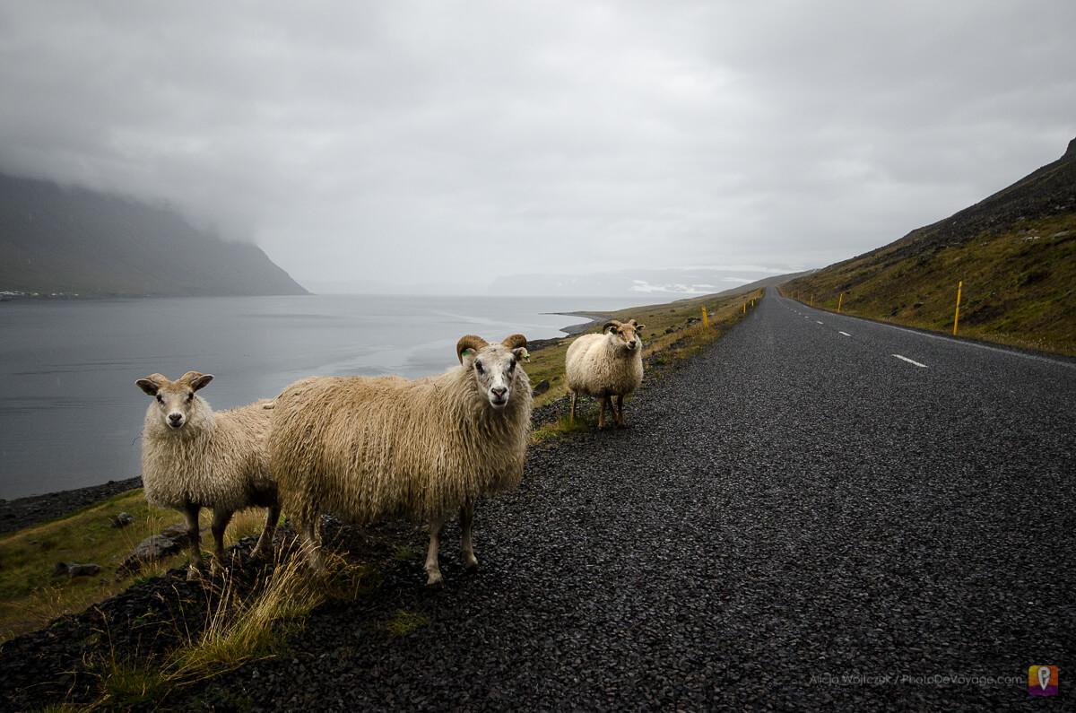 Westfjords owce przy drodze