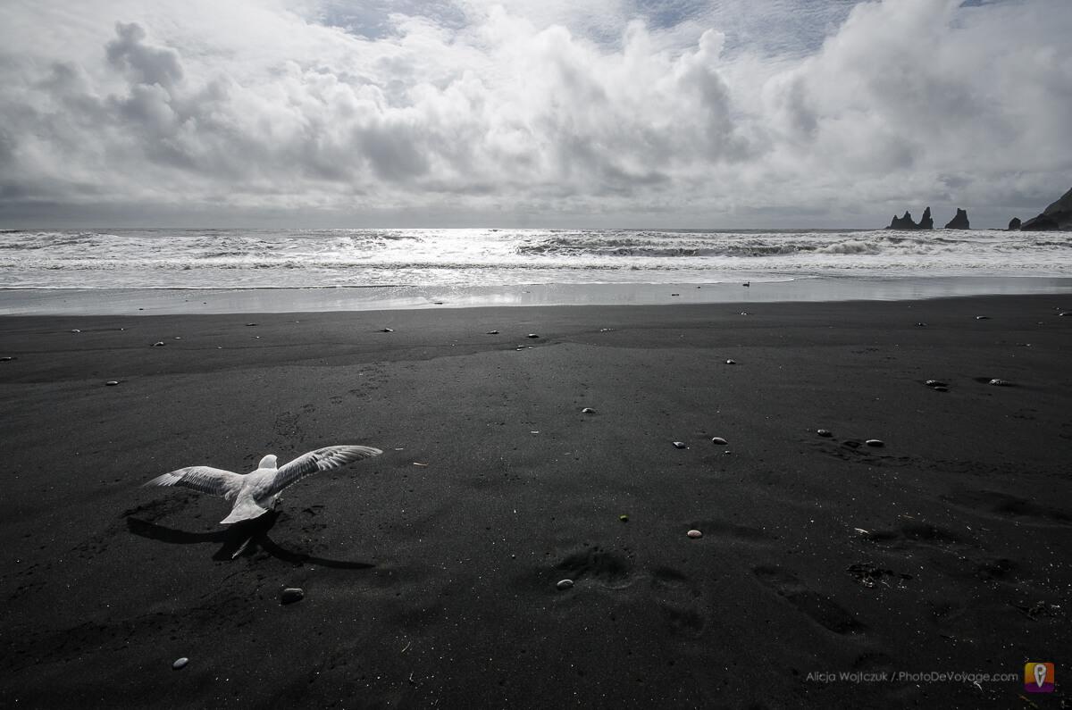 Biała mewa na czarnej plaży przy mieście Vik