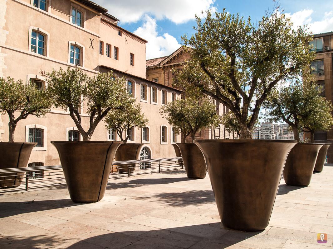 Oliwki w donicach w centrum Marsylii