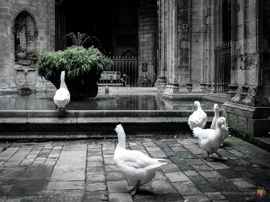 Gęsi w kościele Sant Pau del Camp