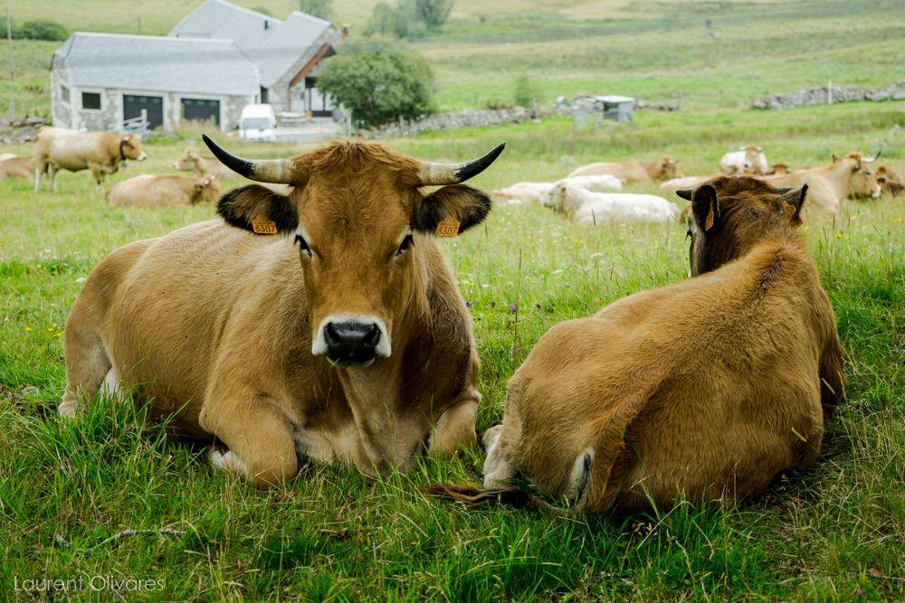 Des vaches recto verso